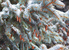 Pine with cones nestled in snow. Nature Stock Image
