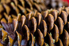 Pine cones Royalty Free Stock Image