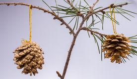 Pine cones on a pine tree brunch Royalty Free Stock Photos