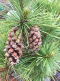 Pine cones on a pine tree. Gloucester garden 2017 Stock Images