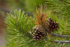 Pine cones in the pines Royalty Free Stock Images