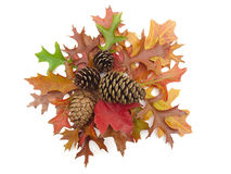 Pine cones and real Fall leaves on white Stock Image