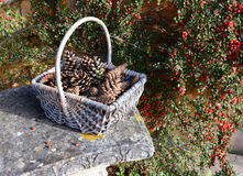 Pine cones in a rustic basket with red berries. Fir cones in a rustic basket against a background of red cotoneaster berries stock photography