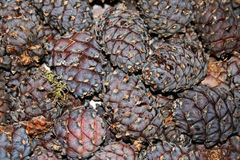 Pine cones - the seeds of Siberian cedar pine Stock Photography