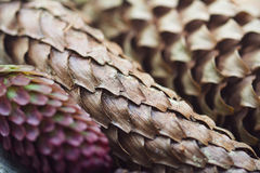 Pine cones with selective focus Royalty Free Stock Images