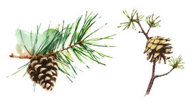 Pine Cones Set Watercolor Illustration Hand Drawn Stock Photos