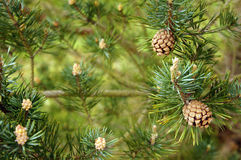 Pine cones. Several little pine cones on a branch Stock Photography