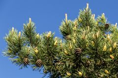 Pine with cones on the sky background