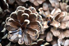 Pine cones. Small group of pine cones stock image