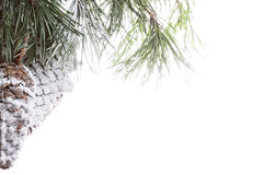 Pine cones in snow. Photo against white background with copyspace Royalty Free Stock Image