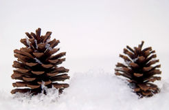 Pine cones in snow Royalty Free Stock Photography