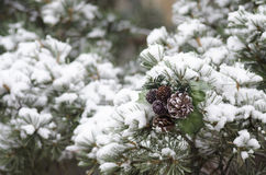 Pine Cones on snow covered branches Royalty Free Stock Images