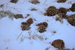 Pine Cones In Snow Stock Photography