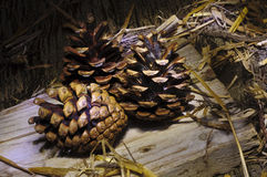 Pine cones still life Royalty Free Stock Image