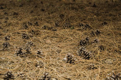 Pine cones. Still life of conifer cones on the ground Stock Photos