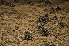 Pine cones. Still life of conifer cones on the ground Royalty Free Stock Photos
