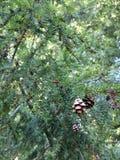 Pine cones on tree Royalty Free Stock Photos