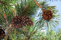 Pine cones on tree branches with pine needles Stock Image