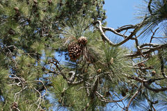 PINE CONES ON A TREE. Pine tree with pine needles and cones against blue sky Royalty Free Stock Images