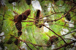 Pine cones in tree Stock Images