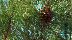 Pine-cones stock video footage