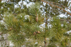 Pine cones. On a tree in winter in city park Stock Photography