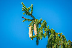 Pine cones on a twig on blue background Royalty Free Stock Photo