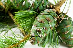Pine cones for use in christmas decorations ,with Royalty Free Stock Photo