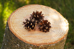 Pine cones on wooden stump in garden on sunny day Stock Photos