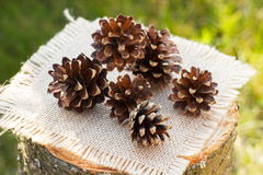 Pine cones on wooden stump in garden on sunny day Stock Images