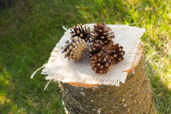 Pine cones on wooden stump in garden on sunny day Royalty Free Stock Images