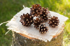 Pine cones on wooden stump in garden on sunny day Royalty Free Stock Photography