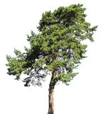 Pine conifer tree, isolated. On white background royalty free stock images