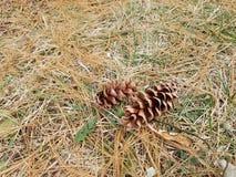 Pine ,Coniferous  fall  ,backyard Royalty Free Stock Image