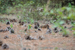 Pine cons on spines bed. Some pine cones spread on the ground in the forest Stock Photography