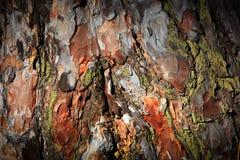 Pine cortex Stock Images
