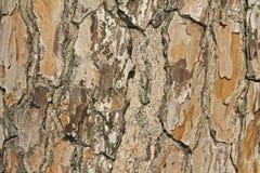 Pine cortex closeup Royalty Free Stock Photo