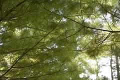 Pine Cover. A canopy of pine trees stock photos