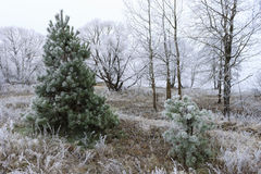 Pine covered with frost Stock Photo