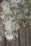 Pine covered with frost Stock Image