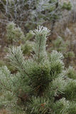 Pine covered with frost Stock Photography