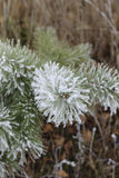 Pine covered with frost Royalty Free Stock Image