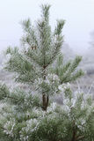 Pine covered with frost Royalty Free Stock Photos