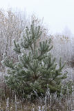 Pine covered with frost Royalty Free Stock Photography