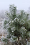 Pine covered with frost Royalty Free Stock Images