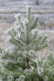 Pine covered with frost Royalty Free Stock Photo