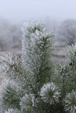 Pine covered with frost Stock Photos
