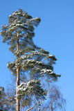 Pine covered with snow Royalty Free Stock Images