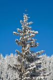 Pine covered with snow Stock Photos
