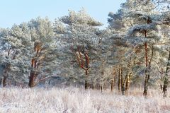 Pine covered with snow in the winter forest. Pine covered with snow in the winter forest royalty free stock images
